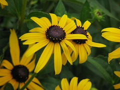 Black Eyed Susans (MaryAnnC66) Tags: flower yellow blackeyedsusan