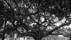 Morton Bay Fig (wiifm) Tags: old newzealand blackandwhite tree huge napier clivesquare panasonicdmctz3