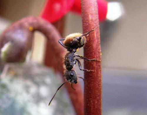 hormiga negra en tallo de flor de ciclamen