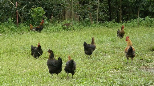 33.放養的雞