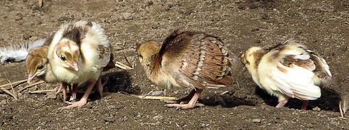 Påfågelkycklingar