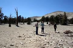 ancient bristlecone pines (btown.) Tags: california easternsierras