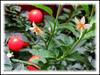 Solanum pseudocapsicum (Jerusalem Cherry, Christmas/Winter Cherry, Madeira Cherry, Coral Bush)