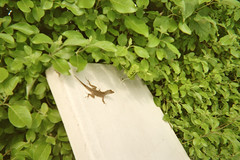 Baby Gecko sunbathing, Cancun. Mexico (oztega_1) Tags: mexico cancun sunbathing babygecko