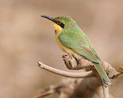 Abelharuco-dourado / Little bee-eater (Antnio Guerra) Tags: nature birds wildlife natureza aves digiscoping birdwatching the littlebeeeater meropspusillus golddragon natureselegantshots fantasticwildlife panoramafotogrfico thewonderfulworldofbirds gambia
