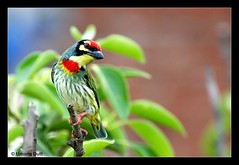 Crimson-breasted Barbet (Umang Dutt) Tags: india cute bird beautiful crimson birds wow spectacular interestingness interesting flickr bright image feeding vibrant awesome picture aves whiskers ave indians nikkor gujarat ahmedabad dutt thelook umang lionelritchie breasted barbet coppersmithbarbet megalaimahaemacephala explored 70300vr avianexcellence crimsonbreastedbarbet umangdutt