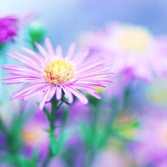 For everything that's lovely is but a brief, dreamy, kind of delight. (*Peanut (Lauren)) Tags: bravo bokeh lol asters wbyeats hbw hmmmsappytoday september162008 ibetthiswillbe1today 365daysofbokehproject