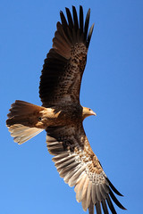 Whistling Kite in flight