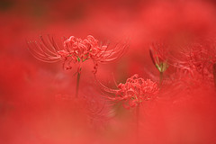 Burning red (harvest_ja*) Tags: red flower nature canon 5d platinumphoto theperfectphotographer 5mikesep