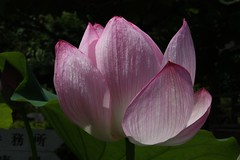 2008-07 Kamakura 026 (blogmulo) Tags: travel pink flower japan temple kamakura flor rosa viajes zen 2008 japon templo lots loto japn blogmulo