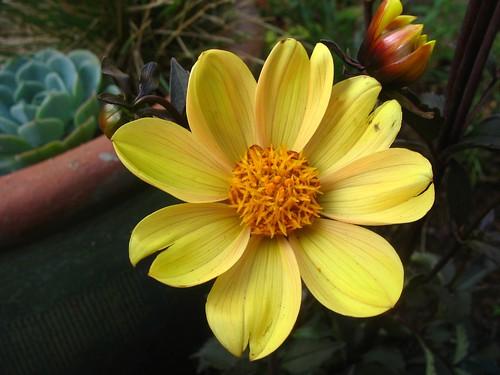 Dahlia hybrid