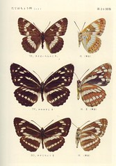 papillon 26