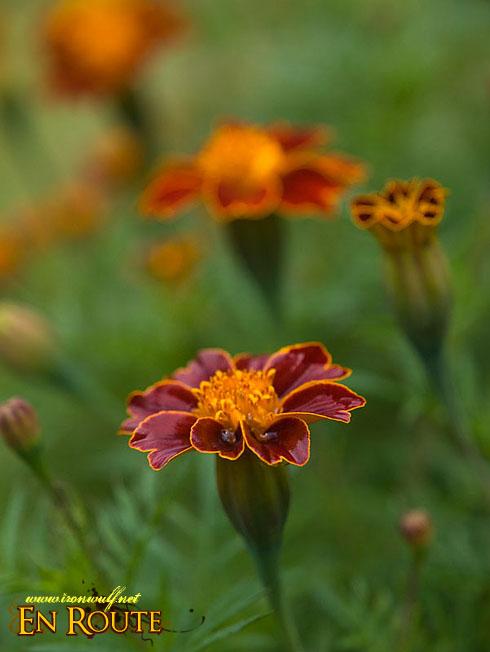 Sagada St Jo's Flower