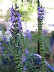 Blue Hill Salvia