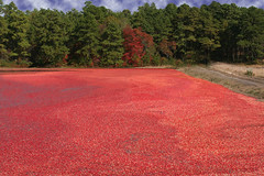 Cranberry Bog (scottnj) Tags: red water newjersey berry colorful berries harvest nj explore cranberry cranberries bogs bog oceancounty doubletroublestatepark explored goldstaraward scottnj