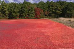 Cranberry Bog (scottnj) Tags: red water newjersey berry colorful berries harvest nj explore cranberry cranberries bogs bog oceancounty doubletroublestatepark explored goldstaraward scottnj