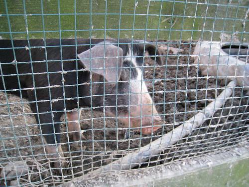 Pig That Bites