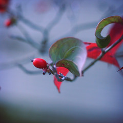 too early for snow (ginnerobot) Tags: blue red cold green dark leaf berry october branch bokeh rich snowing curl simple wintery