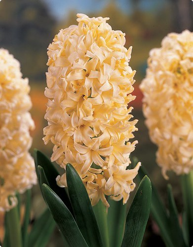 Hyacinth 'Yellow Queen'