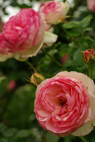 Roses at Rose Street Garden