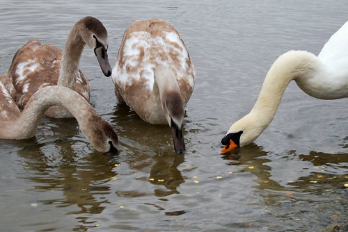 Swans at Lake Coniston