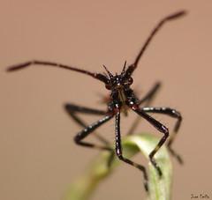 ninfa de reduviidae (Juan Emilio -) Tags: macro raynoxdcr250 olympussp570uz