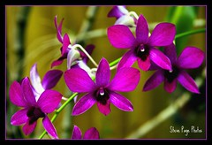 Patio Orchid! (iTail ~ Steve Page) Tags: orchid flower home purple bokeh vine petal patio naturesfinest blueribbonwinner itail otw flowerscolors topshots terrificimage mywinners abigfave diamondclassphotographer theunforgettablepictures eliteimages macromarvels theperfectphotographer goldstaraward flowersmacroworld excellentsflowers top20flowerswithbugs natureselegantshots wonderfulworldofflowers rubyphotographer mimamorflowers awesomeblossoms flickrflorescloseupmacros panoramafotogrfico cffaa