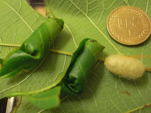 你拍攝的 糞金龜蟲蛹。