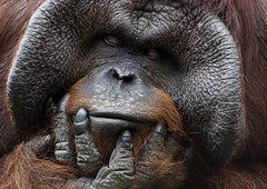 The Thinker ! (riclane) Tags: tampa zoo florida orangutan ape humanlike lowryparkzoo