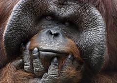 The Thinker ! (riclane) Tags: tampa zoo florida orangutan ape humanlike lowryparkzoo