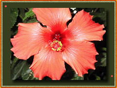 FALL COLORED HIBISCUS (fantartsy JJ *2013 year of LOVE!*) Tags: california flowers blue roses usa macro nature wet floral beauty rain america garden landscape pretty awesome hibiscus oceanside urbannature soe bej fineartphotos diamondclassphotographer flickrdiamond canonslrrebel overtheexcellence theperfectphotographer rubyphotographer 100commentgroup theperfectpinkdiamond lahabreheights passionateinspirations dragondaggerphoto lizasenchantedgarden
