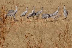 Cranes Along an Irrigation Channel. (Storm_Front) Tags: sandhillcranes sandhillcrane snowgeese