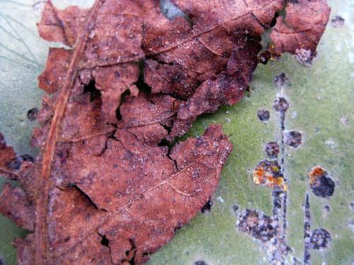 Leaf (20081129.107)