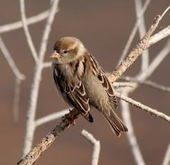 In search of the Maltese Falcon #3 - Female Spanish Sparrow, Ghadira Nature Reserve, Malta