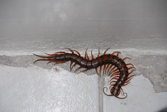 It's in the bathroom! (Jamdowner) Tags: bathroom kingston jamaica centipede giantcentipede fortylegs scolopendraasubspinipes