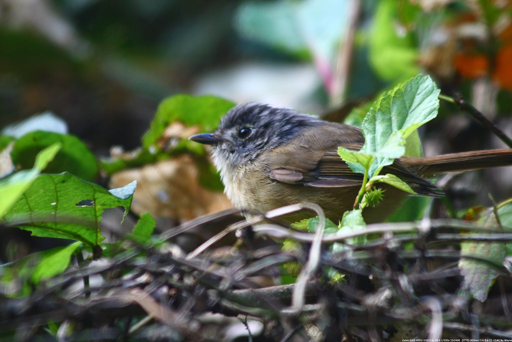 繡眼畫眉 White-eyed Nun babbler - IMG_1826