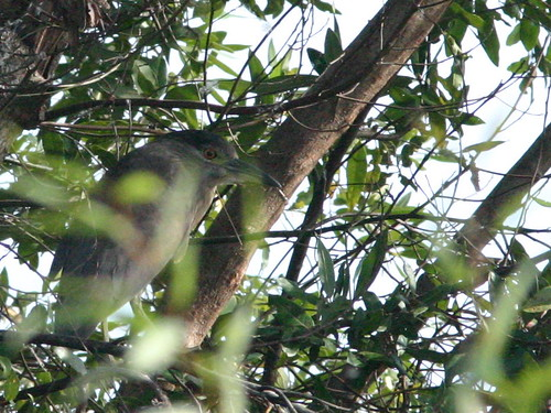 Black-crowned Night-Heron 20081215