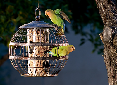 Feral Lovebirds outside my office in Phoenix AZ