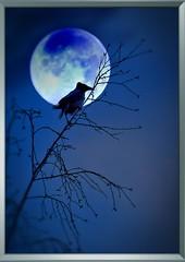 MoonBird (ristozz) Tags: moon bird night finland 1001nights soe digitalcameraclub naturesgallery superaplus aplusphoto flickraward theunforgettablepictures platinumheartaward excapture spiritofphotography vanagram dragondaggerphoto dragondaggeraward artofimages zensationalworld bestcapturesaoi