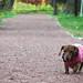ダックスフンド:秋の散歩