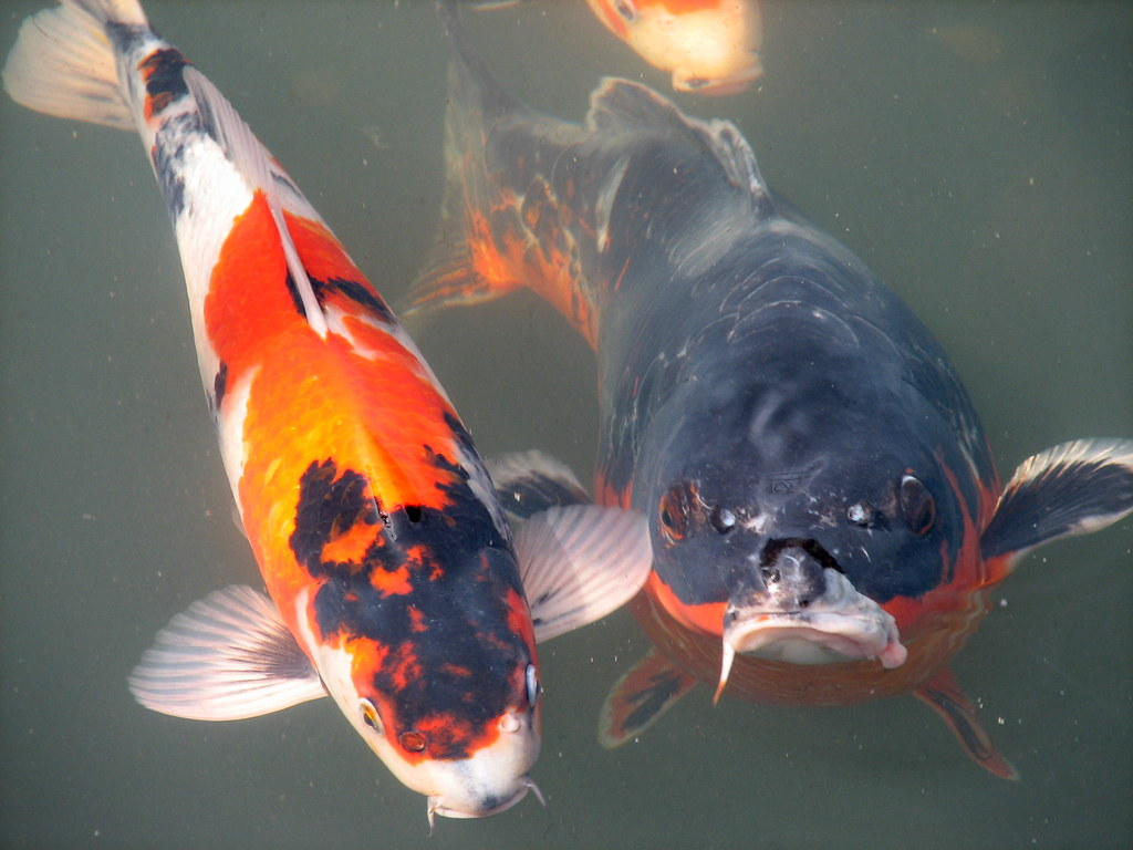 The world 39 s best photos of koi flickr hive mind for Freshwater koi fish