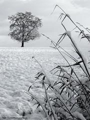 Oregon Snowscape (Nick Boren Photography) Tags: winter plants snow tree oregon wonder oak pacific northwest fresh valley western land willamette snowscape flocked undisturbed goldstaraward