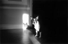 Gidget Sitting (ecospc) Tags: light blackandwhite bw dog contrast bostonterrier 50mm ae1 f18 gidget thelittledoglaughed