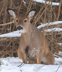 Sitting Deer! (JRIDLEY1) Tags: winter snow woods deer kensington whitetail cubism naturesfinest supershot addictedtoflickr bej zenfolio abigfave anawesomeshot impressedbeauty ultimateshot brightonmichigan theunforgettablepictures goldstaraward rubyphotographer jridley1 jimridley dailynaturetnc09 httpjimridleyzenfoliocom photocontesttnc10 lifetnc10 jimridleyphotography photocontesttnc11 photocontesttnc12