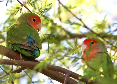 Parrot Peach-faced Lovebirds –
