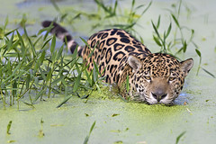 Jaguar (crossing the swamp... again) (Erick Loitiere) Tags: green nature water swim feline swamp jaguar nage flin guyane frenchguiana guyanefranaise marcage naturefinest canonef300mmf28lis vosplusbellesphotos erickloitire montsinnery