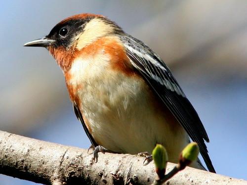 Bay-breasted Warbler 20090503