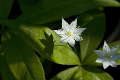 May 19th Starflower (violetflm) Tags: white plant flower native d2x il endangered bog starflower poc trientalisborealis edim may19th cf26223 es2013