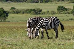 Masai Mara Safari - Two Zebras (Adrian Cabrero (Mustagrapho)) Tags: africa animals kenya safari 7d adrian zebras masaimara wildanimals cabrero 100400 masaimaranationalreserve canon100400f4556 intrepids canon7d adriancabrero mytummytalkstome themasaimara masaimaraintrepidsclub summeronsafari zebrassharing zebraseatingtogether