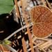 Snoutbean (Rhynchosia sp.)